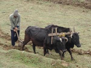 nepal-ox-plow
